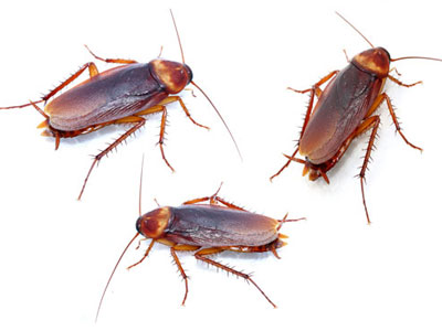 Cockroach Control/Prevention